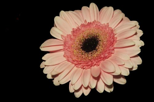 Gerbera,žiedas,žydėti,oranžinė,gėlė,kompozitai,asteraceae