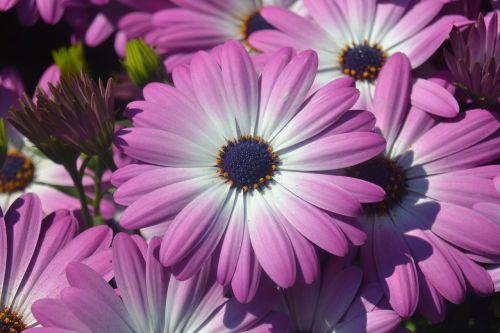 Gerbera,gėlės,letnička,osteospermas,violetinė