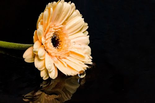 Gerbera,gėlė,žiedas,žydėti,kompozitai,žiedlapiai,oranžinė,lašas vandens,veidrodis,gamta,vanduo,bet lašinamas,purslų