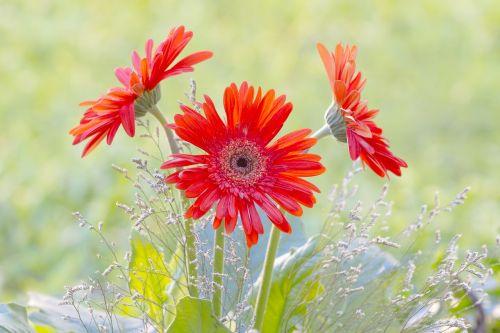 Gerbera,sodas,pavasaris,žiedlapiai,Gerbera Daisy,gamta,gėlės,spalvinga