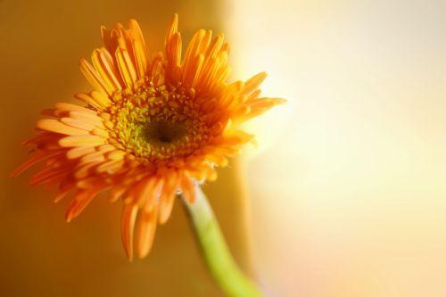 Gerbera, Daisy, pavasaris, gamta, gėlė, spalva, Gerbera 3
