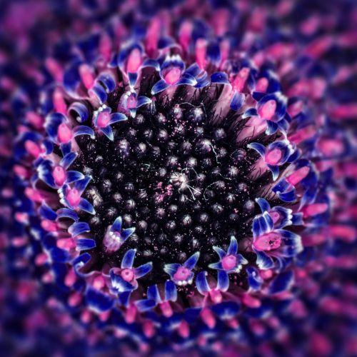 Gerbera,kompozitai,gamta,augalas,gėlė,spalva,šviesus,širdis,makro,hibridas,žiedas,žydėti,žiedadulkės,Uždaryti,pistil