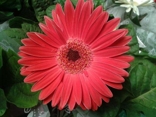 Gerbera Daisy,gėlė,gamta,gėlės,Gerbera,augalas,spalva