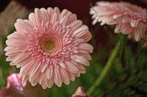 gerberai,gėlės,skintos gėlės,sodo gėlės,gėlių puokštė,gėlių puokštė,vasara,kūno spalvos spalva,raudona,banguotas celozja,žiedlapiai,stiebas,žydi,Iš arti,viduje gėlės,jos gėlės,kompozicija,apdaila,flora,delikatesas