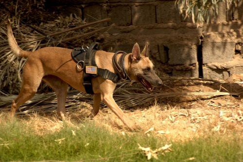 Vokiečių aviganis, šuo, šunys, treniruotas, darbo, sulaikymas, apsauga, paklusnus, lauke, dėmesio, gyvūnas