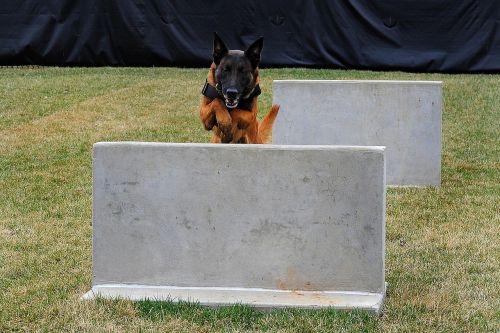 Vokiečių aviganis,šuo,šunys,mokymas,paslauga,šokinėja,kliūtis,paklusnus