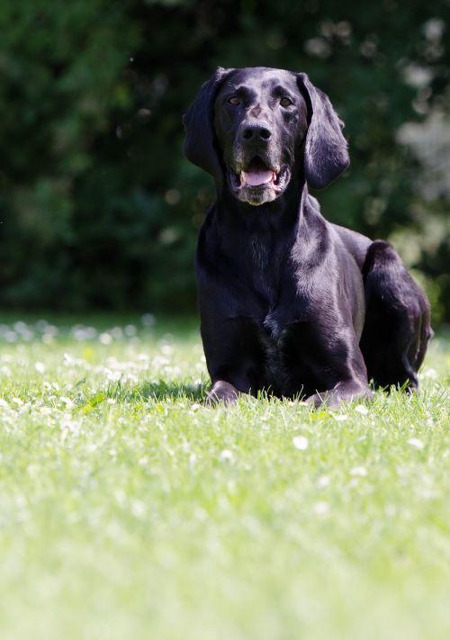 vokiečių trumpi plaukai,juoda,šuo,linkęs šuo,medžioklės šuo,naminis gyvūnėlis,juodas šuo