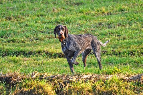 vokiškas juodas juodas jutiklis, žymeklis, medžioklės šuo, gun šuo, šuo, gyvūnas, žinduolis, šunys, kilmės, stovintis, žiūri, treniruotas, apmokytas šuo, laukas, šuo lauke, šunų medžioklė, be honoraro mokesčio
