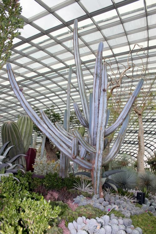 milžinas, kaktusas, milžiniškas kaktusas