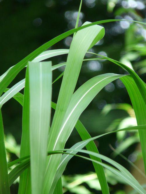milžinas chinaschilf,nendrė,dramblio žolė,augalas,miscanthus giganteus,Miscanthus,miscanthus sinensis,bambuko grassedit šį puslapį,žalias