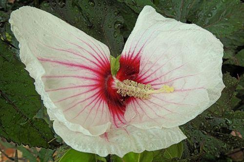 milžiniškas hibiscus,liūtys,hibiscus,lietus,žiedas,žydėti,hibiscus gėlė,balta