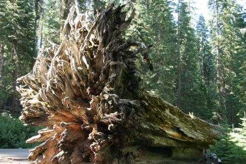 milžinas, Redwood, medžiai, Kalifornija, šaknys, milžiniški raudonmedžio medžiai Kalifornijoje