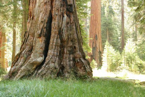 milžinas, Redwood, medžiai, josemitas, milžiniški raudonmedžio medžiai josemituose
