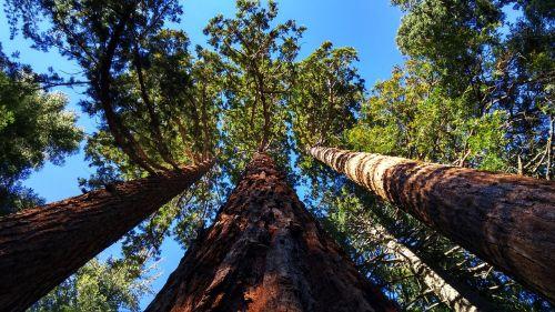 milžiniškas sekvioja giraites netoli auberno, Kalifornija, medžiai, pušys, milžiniški medžiai, sekvija, miškas, ieško medžių, aukšti medžiai