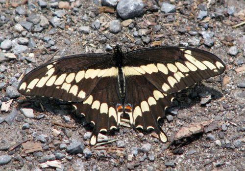 milžinišką lazdelę,papilio krepsonai,didžiausias na drugelis,Moneymore,Ontarijas,Kanada