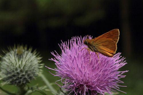 milžinas trevally,drugelis,vabzdys,drakonas,gėlė,makro,gamta,Uždaryti