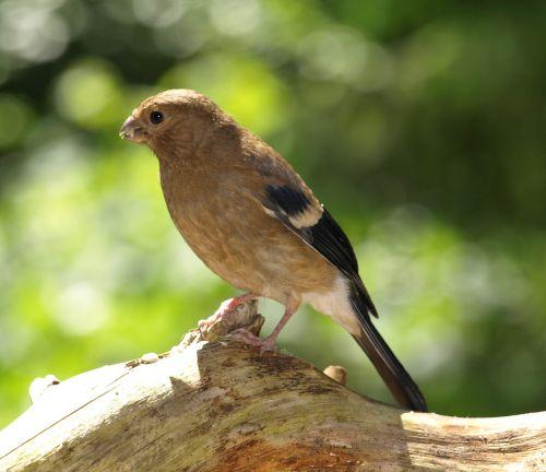 Gimpelis,koplyčia,kraujo fink,jaunas paukštis,pyrrhula pyrrhula,paukštis,jaunas,viščiukai,gyvūnas,jaunas gyvūnas,plunksna,gamta,giesmininkas,Uždaryti,plumėjimas,sąskaitą,paukštis jaunas