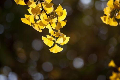 ginkmedis,ruduo,lapai,geltona,lapai,lapai,mediena,gamta,Baklažanas,rudens lapai,šviesa,mokykla,parkas,Korėjos Respublika