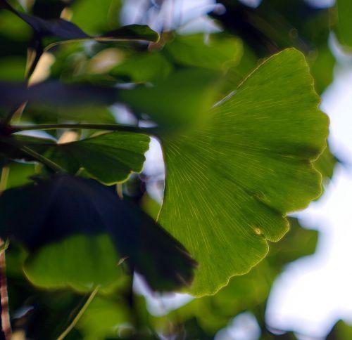 ginkgo japanese,Ginkgo biloba,lapai,žalias,atmintis,žolė,arbata,medis,šviežias,lapų žarnos,labai senas,endeminis,išnykęs,lapija