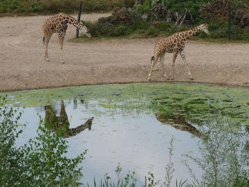 žirafa,afrika,safari,gyvūnas,zoologijos sodas,kaklas,laukinis gyvūnas,tvenkinys,veidrodis,gyvūnų pasaulis,retikuliuotas žirafas