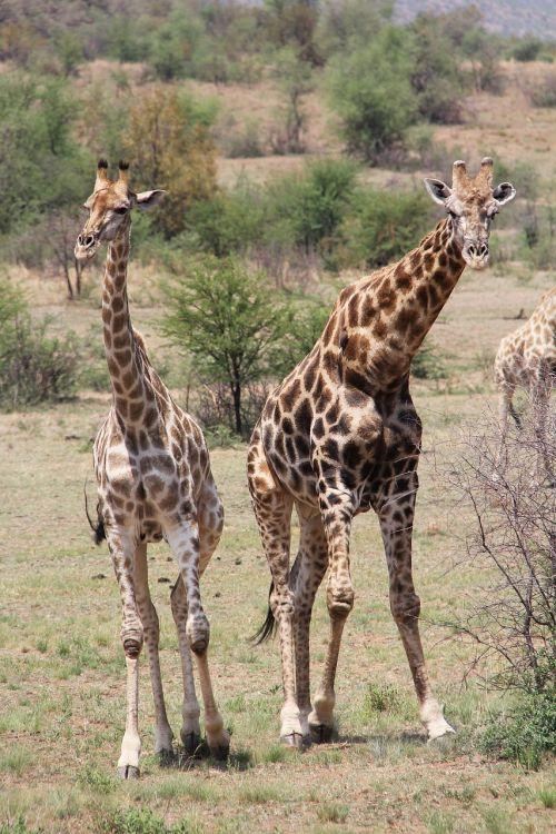 žirafa,įdomus,nuotykis,safari,vaizdingas,gražus,įdomus,saulės miestas,Pilanesbergo žaidimų rezervas,Johanesburgas,pietų Afrika