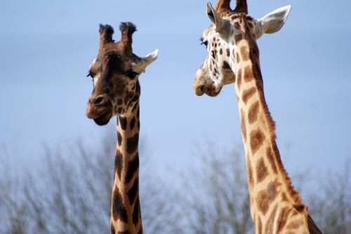 žirafa,gyvūnas,zoologijos sodas,safari,zoologijos sodai,žinduolis,dėmės,afrika