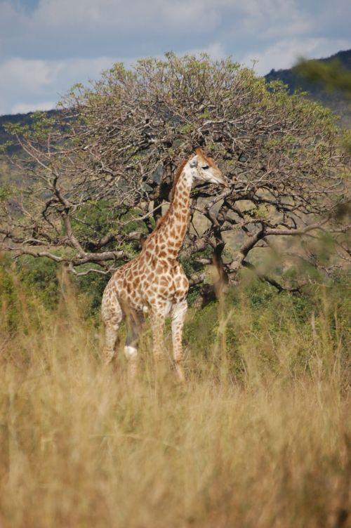 laukinė gamta, žirafa, žaidimas & nbsp, vairuoti, rezervas, hluhluwe, žirafa