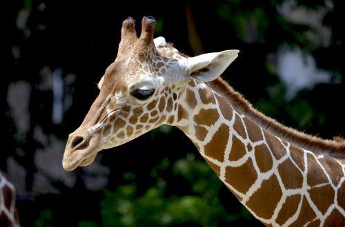 žirafa,retikuliuotas žirafas,kaklas,gražus,afrika,gyvūnas,galvos piešinys,modelis,žirafos galvutė,giraffa camelopardalis reticulata,atrajotojas