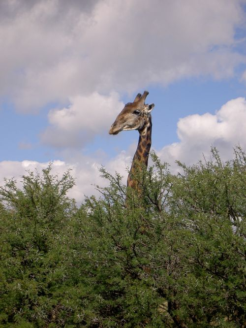 žirafa,bushveld,apklausa