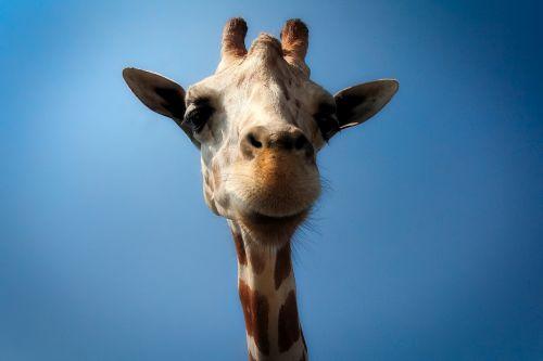 žirafa,gyvūnas,laukinė gamta,Iš arti,makro,gamta,lauke,mielas,hdr