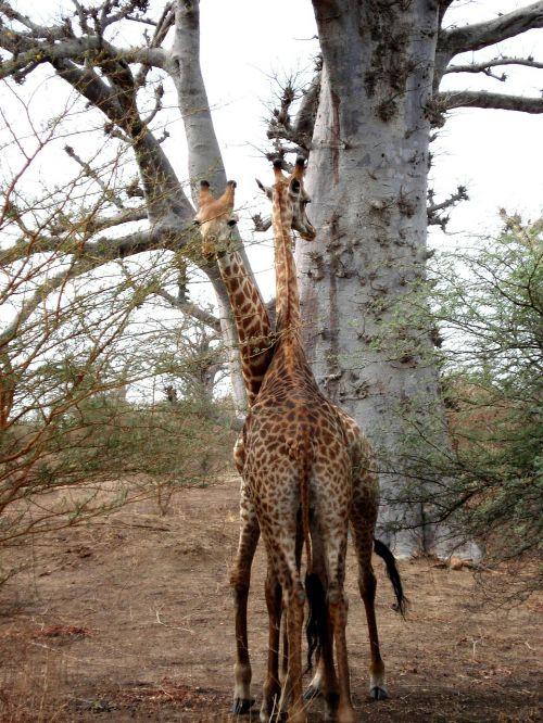 žirafa,afrika,Senegalas
