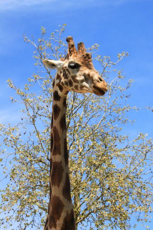 žirafa,fauna,beauvalle
