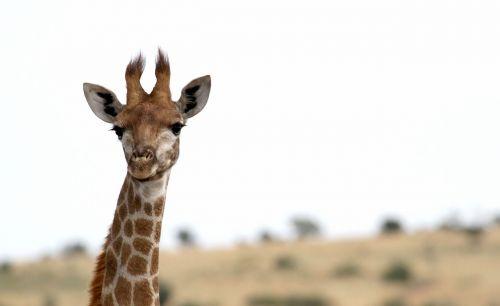 žirafa,afrika,safari