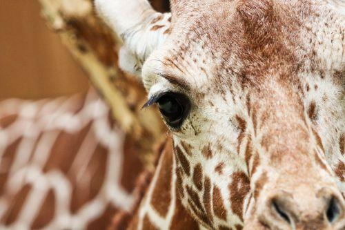 žirafa,retikuliuotas žirafas,zoologijos sodas,gyvūnas,gamta,Iš arti,žinduolis