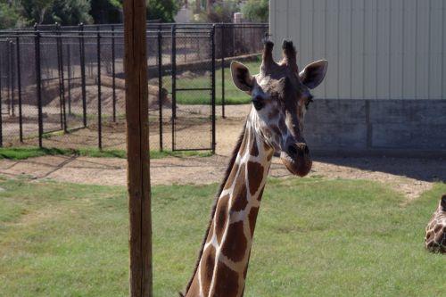žirafa,ilgas kaklas,safari,zoologijos sodas,gamta,gyvūnas,kaklas