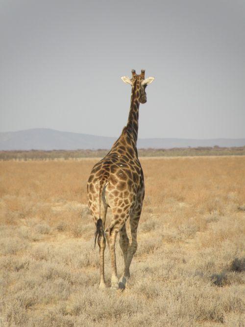 žirafa,Namibija,parkas