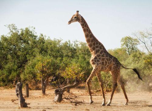 žirafa,bėgimas,afrika,laukiniai,laukinė gamta,žinduolis,juokinga,kaklas,dizainas