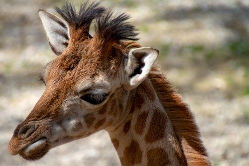 žirafa, jauna gyvūnų, žirafa vadovas, Gyvūnijos pasaulyje, pobūdį, gyvūnas
