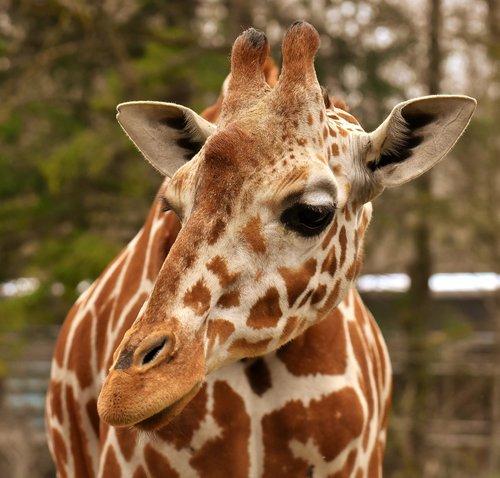 žirafa, Zoo, gyvūnas, gyvūnų portretas, laukinis gyvūnas, Tierpark hellabrunn