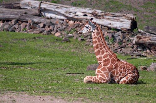 žirafa, Žirafa jauna, Afrikoje, Zoo, tinklinės žirafa, vadovas brėžinys, dėmėtojo, gyvūnas, Safari