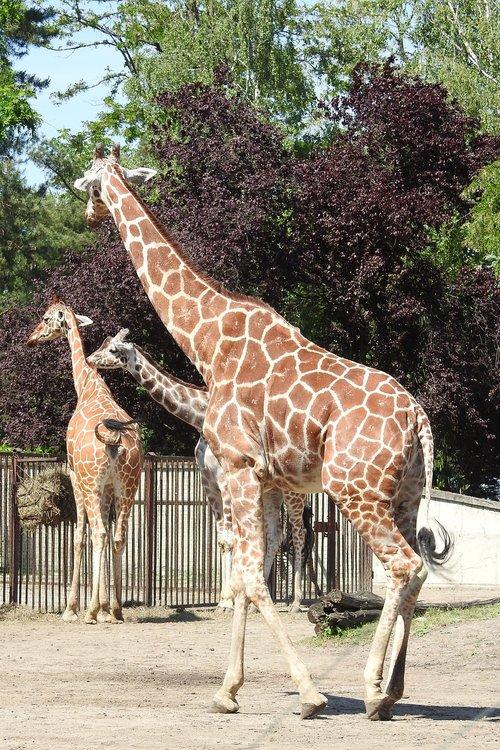 žirafa, Afrikoje, Safari, siluetas žirafa, Afrikos, Zoo, žirafa vadovas, gyvūnas, aukštas