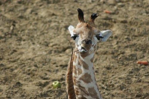 žirafa, žinduolis, Gyvūnijos