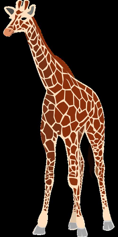 žirafa,žinduolis,gyvūnas,žolėdis,laukinė gamta,safari,zoologijos sodas,Afrikos,kaklas,dykuma,savana,giraffa camelopardalis,Okapi,zarafa,Nubijos žirafa,angolos žirafa,Kordofan žirafa,masai žirafa,Rodezijos žirafa,nemokama vektorinė grafika