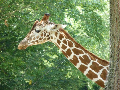 žirafa,kaklas,gyvūnas