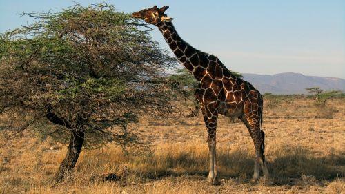 žirafa,kenya,safari,sambūrų nacionalinis parkas,žinduolis,laukinės gamtos fotografija