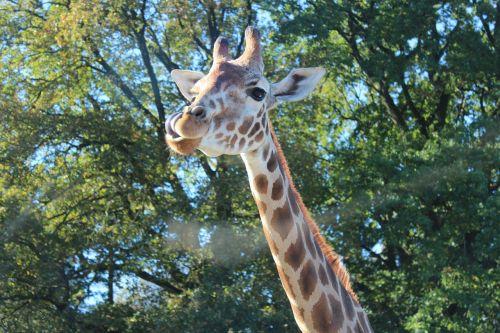 žirafa,Roščildo žirafa,Camelopardalis,rothschildi,gyvūnai,žinduolis,kaklas