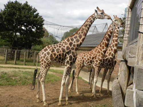 žirafa,gyvūnas,laukiniai,zoologijos sodas,gamta,safari,afrika,aukštas,žolėdis