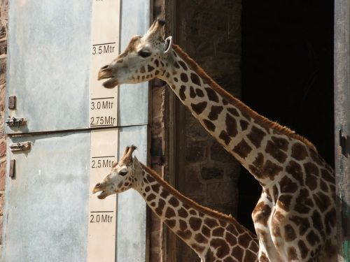 žirafa,jaunas,aukštas,gyvūnas,gyvūnai,žinduoliai,zoologijos sodas,Česteris,Anglija