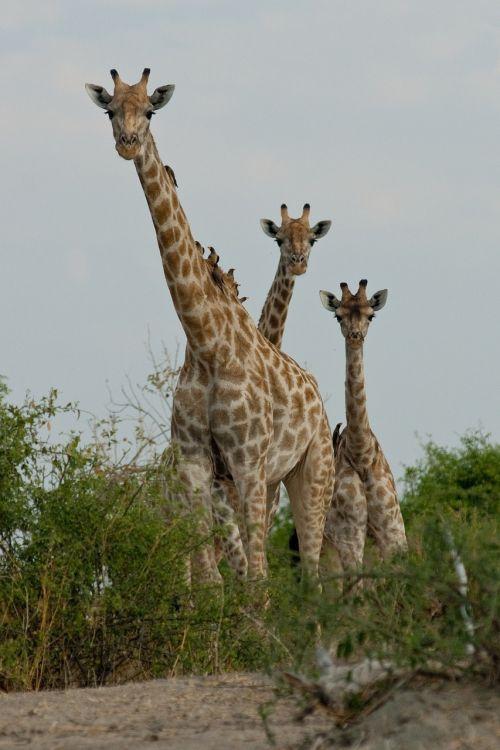 žirafa,botsvana,smalsumas