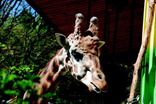 žirafa,zoologijos sodas,gyvūnas,žinduolis,kaklas,galva,retikuliuotas žirafas,laukiniai,laukinis gyvūnas